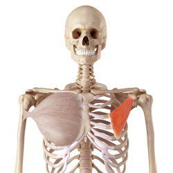 Kleiner Brustmuskel