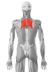 Rautenförmiger Muskel