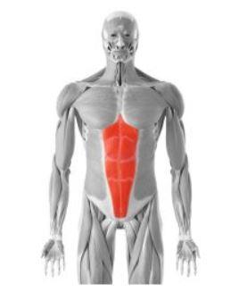 der gerade Bauchmuskel